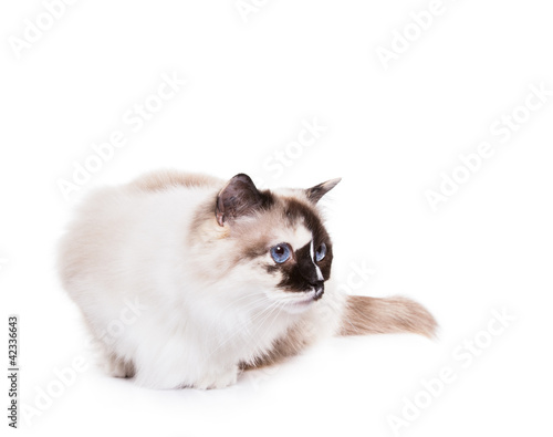 Cute Tortie Ragdoll Cat on a White Background
