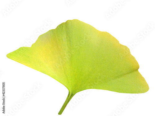 autumn leaf of gínkgo bilóba isolated on a white background