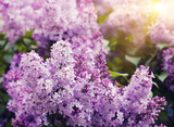 Fototapety lilac