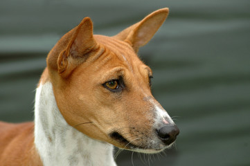 Basenji dog portrait