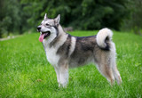 Young Alaskan Malamute on a walk in a park
