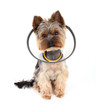 Sick  Yorkshire Terrier wearing a protective collar