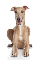 Greyhound dog on white background