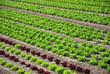 Feld mit Salat