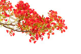 spring Flower. Delonix regia (Flame Tree) isolated on white