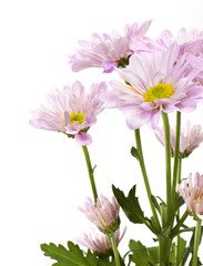 blooming beautiful pink flower on white background
