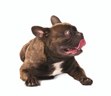 frightened french bulldog
