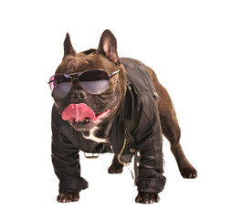 french bulldog biker