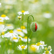 Poppie bud and chamomile flowers in a meadow