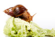Snail on cabbage leaves