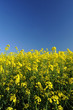 Oilseed rape crop in flower