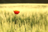 Lonely poppy in a field at dusk