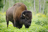 large male of american bison in national park Priokskiy