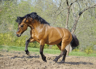 beautiful roan stallion playing in the paddock