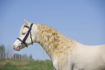 cremello welsh mountain pony stallion