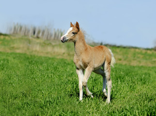 little foal in summer field