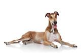 Greyhound dog posing white background