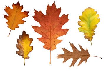 Bunte Herbstblätter Eiche