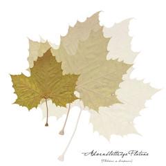Collage mit Blättern der Platane