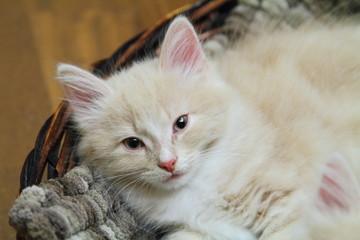 Gattino dorme in una cesta di vimini con cuscino