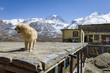 Dog on the roof in Himalaya mountains