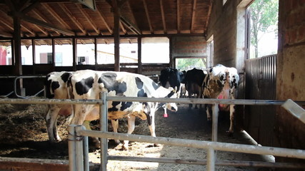 Dairy Cattle Going to Milking