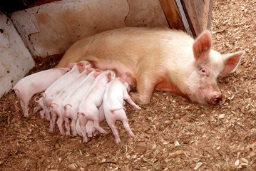 Little piglets with sow