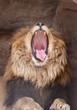 Lion (Panthera Leo) yawns