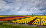 colorful field with tulips