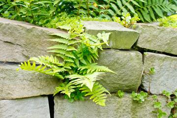 Farn an Steinmauer