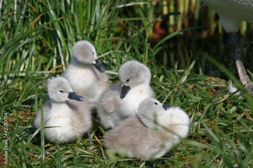 Fotobehang cygnets in nest
