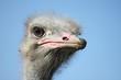 Ostrich portrait