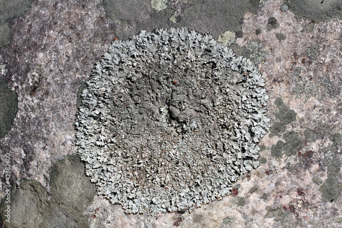 Close up of Parmelia saxatilis lichen