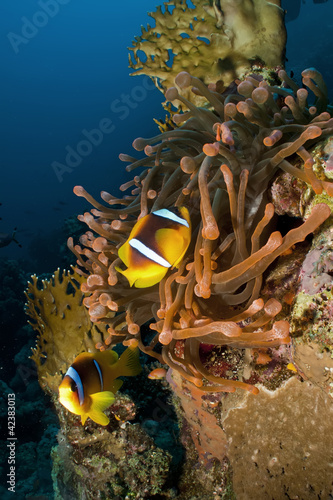 Magnificent red anemone with anemonefish