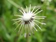 Funny dandelion