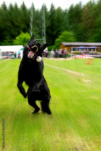 Black dog leaping to catch a ball on a stick