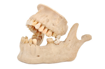 model of human jaw