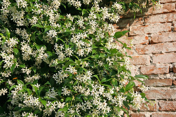 white jasmine and an old red brick wall