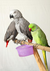 Beautiful green and grey parrots