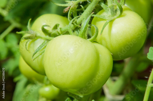 large green tomatoes hanging on a branch in greenhouse