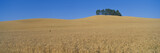 Wheat Fields, S.E. Washington