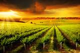 Fototapety Stunning Vineyard Sunset