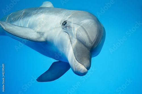 Papiers peints Dauphins Dolphin under water