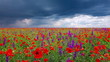 field of flowers and the cloudy sky
