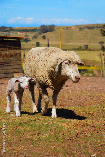 Lamb with sheep