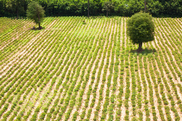 row of cassava farmland