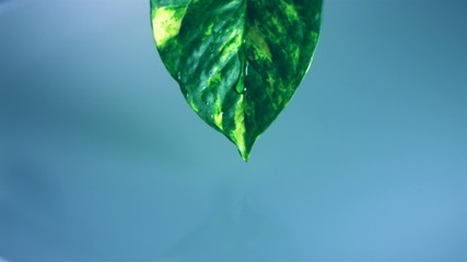 Water dripping from leaf, Slow Motion