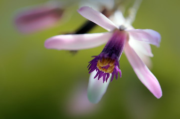Fleur de l'arbre de Neem