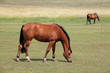 Grazing Horse in the summer Landscape