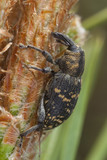 Snout beetle, hylobius abietis feeding on fir poster